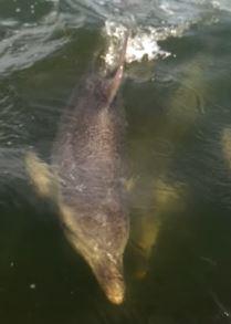 Burrunan-Delfin-Schwimmt