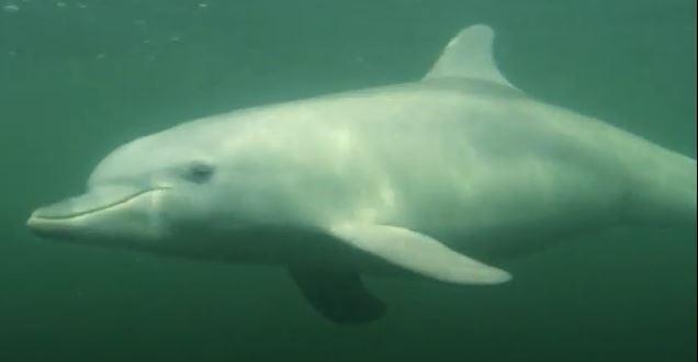 Burrunan Delfin