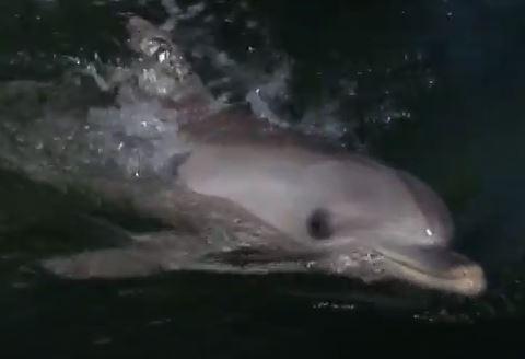 Burrunan delfin schaut zu Kamera