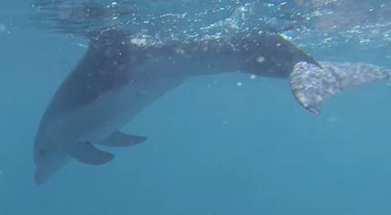 Burrunan delphin