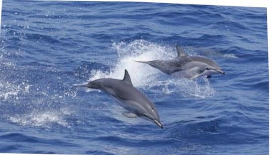 Clymene Delfine springen