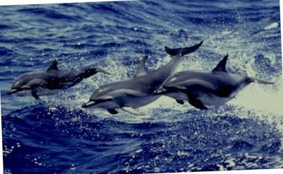 Drei-Clymene-Delfine