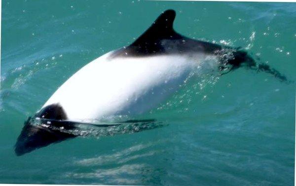 Comerson-Delfin schwimmt